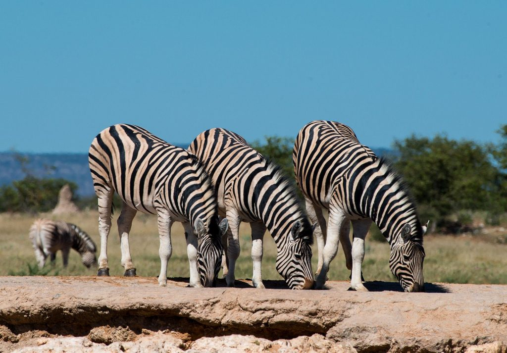 Namibia cebras Pixabay - Seguir Viajando Agencia de Viajes